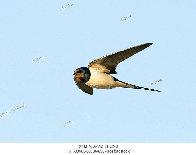 Barn Swallow Hirundo rustica adult male, in flight, with full crop to feed young, Norfolk, England, june