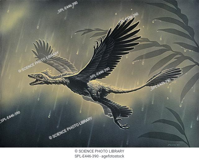 'Four-winged dinosaur.  Artwork of Microraptor gui, a  gliding  dinosaur  with  feathers  on  all four limbs,  which lived in the early Cretaceous period about...
