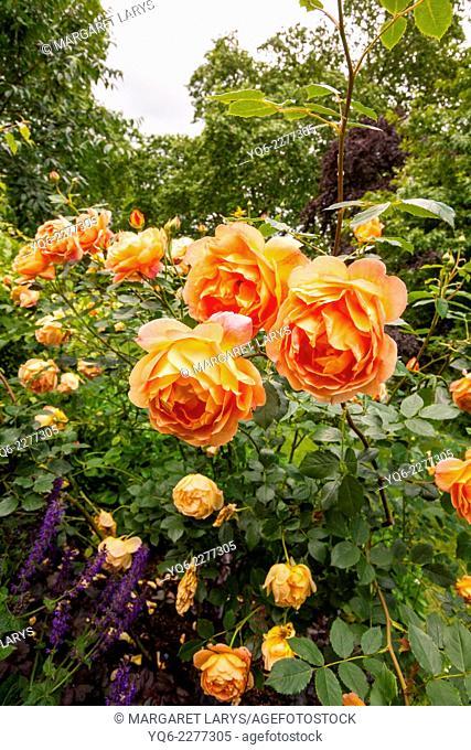 Beautiful orange roses in the garden. London, UK