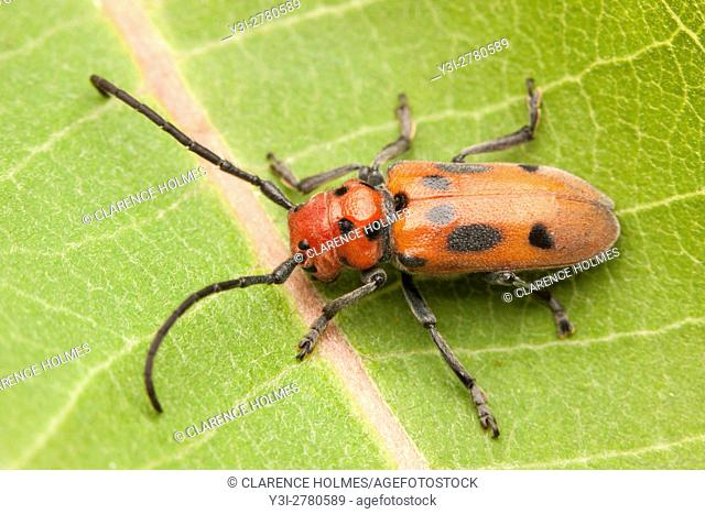 A Red Milkweed Beetle (Tetraopes tetrophthalmus) perches on a Common Milkweed plant leaf
