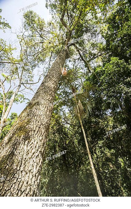 Chico zapote (Manilkara achras) (Manilkara zapota) tree, Tikal, Guatemala, Central America