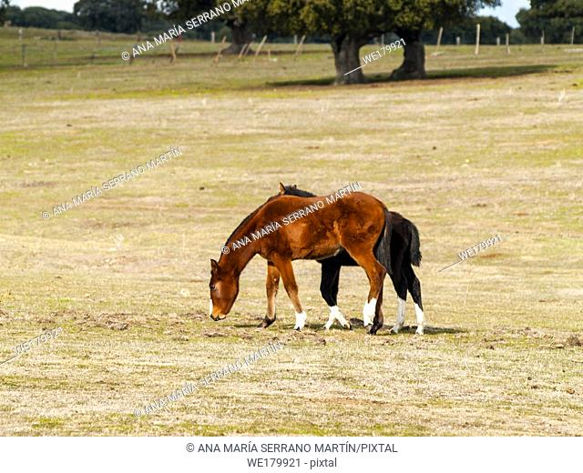 A brown horse and a black colt in the dehesa in Salamanca (Spain). Ecological extensive livestock concept