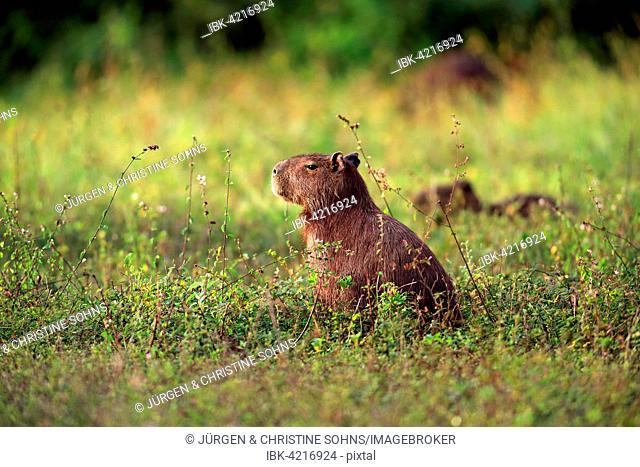 Capybara (Hydrochoerus hydrochaeris), adult, on the land, vigilant, Pantanal, Mato Grosso, Brazil