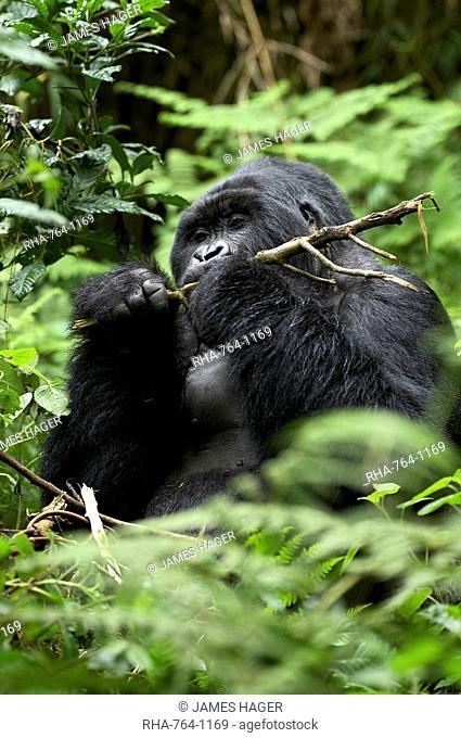 Silverback mountain gorilla Gorilla gorilla beringei, Group 13, Volcanoes National Park, Rwanda, Africa
