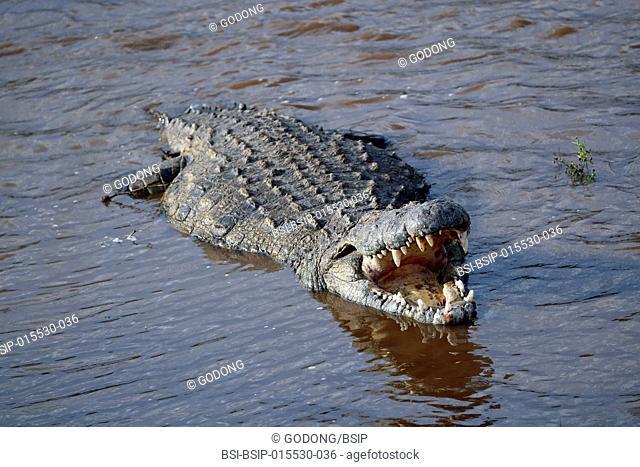 Nile crocodile (Crocodylus niloticus) in water. Masai Mara game reserve. Kenya