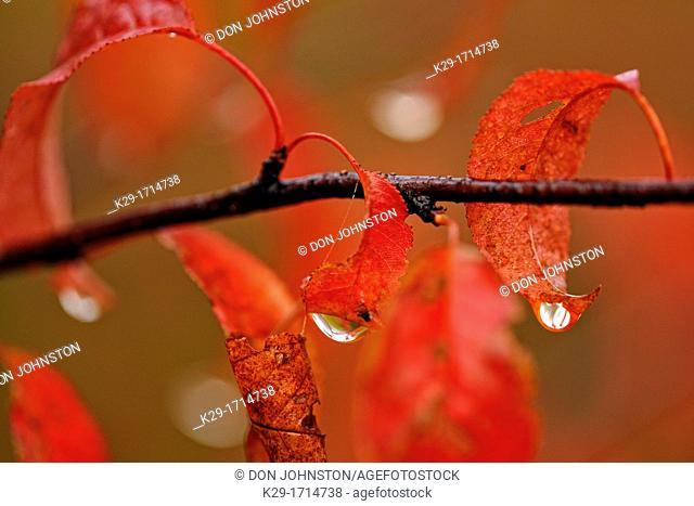 Pin cherry Prunus pensylvanica Autumn leaves with raindrop, Greater Sudbury Lively, Ontario, Canada