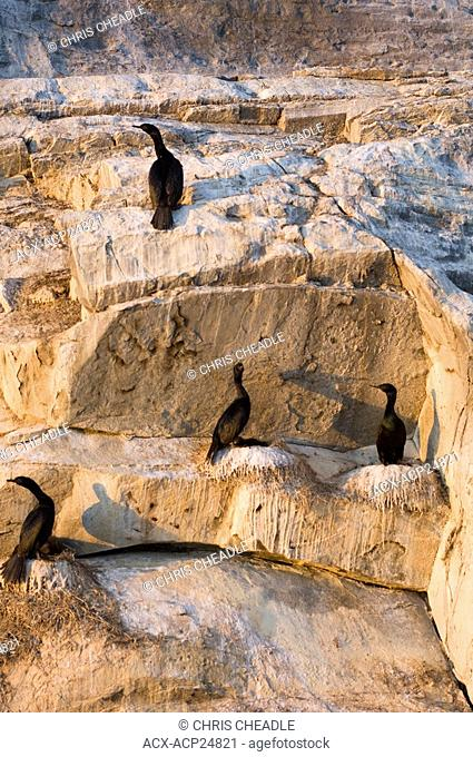Cormorants at Mandarte Island, near Sidney, BC, Canada