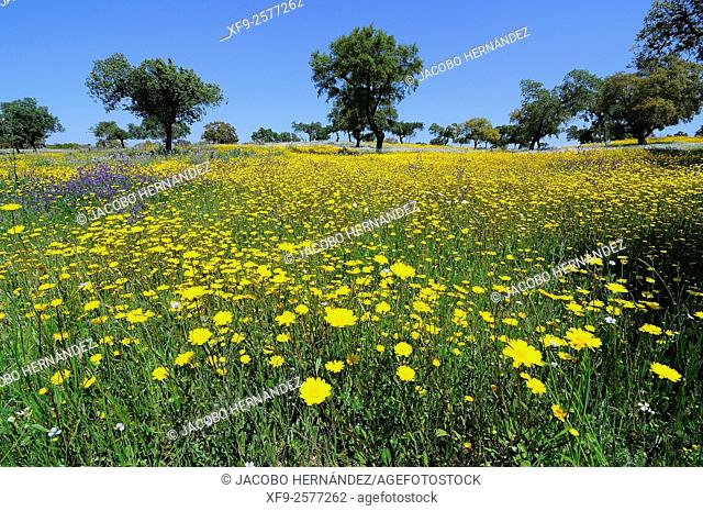 Dehesa (wooded meadow typical of southern Spain) in spring.Estremadura.Spain