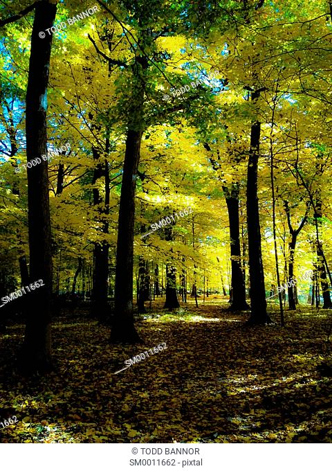 Maple forest in autumn. Thatcher Woods Cook County Illinois