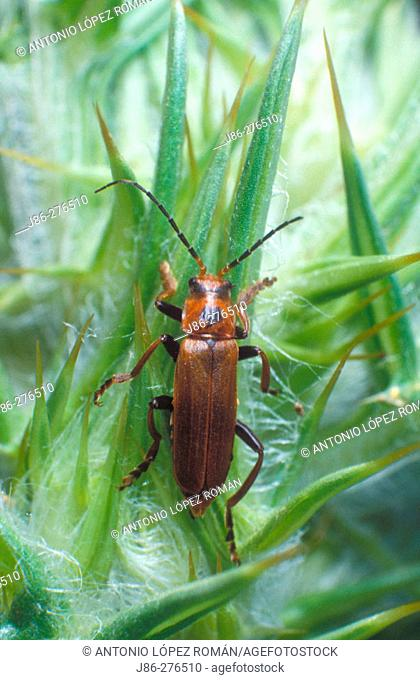Beetle (Cantharis fusca)
