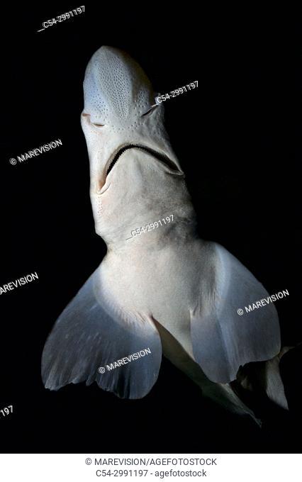 Blackmouth catshark (Galeus melastomus). Eastern. Atlantic Galicia. Spain. Europe