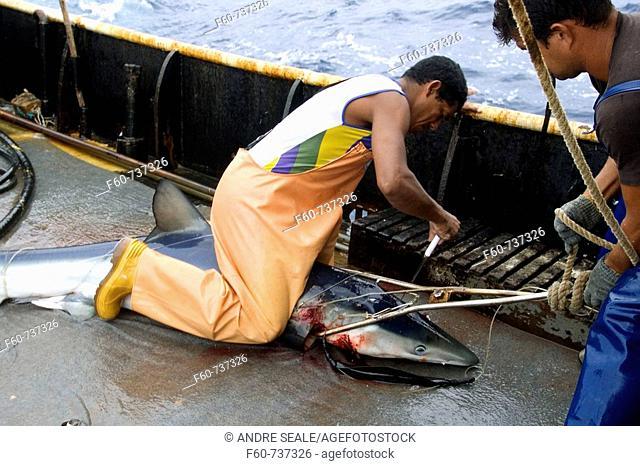 Sacrifice of blue shark, Prionace glauca, offshore commercial longline shark fishing, Brazil, Atlantic Ocean