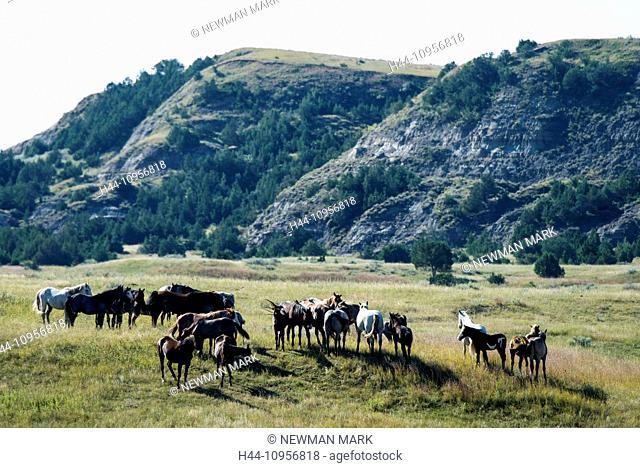 wild horses, Theodore, Roosevelt, National Park, North Dakota, USA, United States, America, horse, wild, prairie, free
