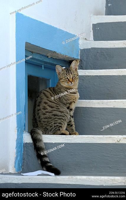 Hauskatze, Santorin, Griechenland