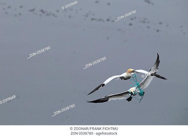 Basstoelpel im Flug