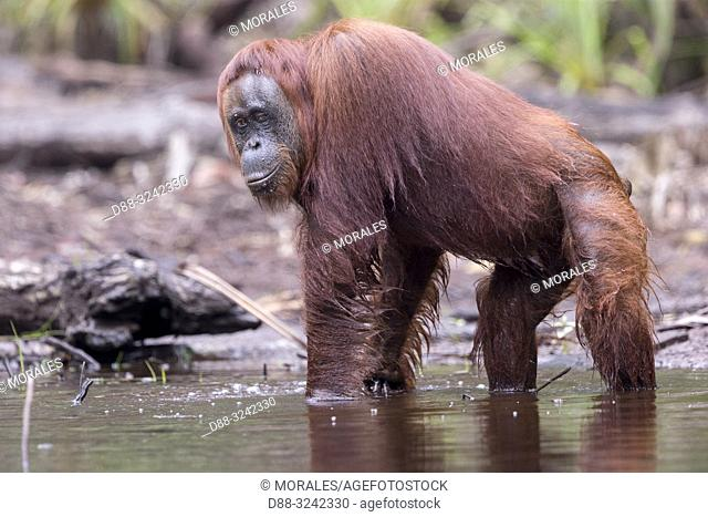 Asia, Indonesia, Borneo, Tanjung Puting National Park, Bornean orangutan (Pongo pygmaeus pygmaeus), adult male near by the water of Sekonyer river