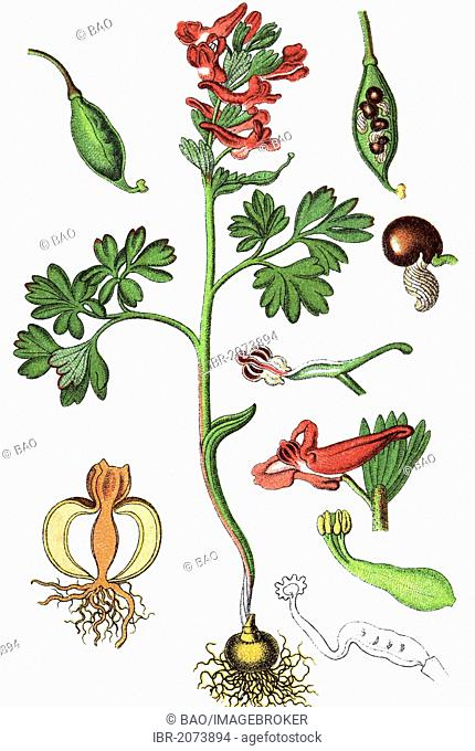 Spring fumewort (Corydalis solida), medicinal and useful plants, chromolithography, 1880