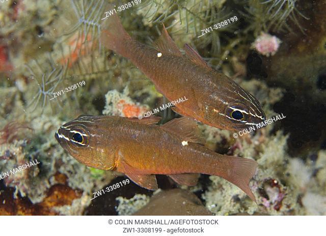 Moluccan Cardinalfish (Ostorhinchus moluccensis) pair, Laha dive site, Ambon, Maluku (Moluccas), Indonesia