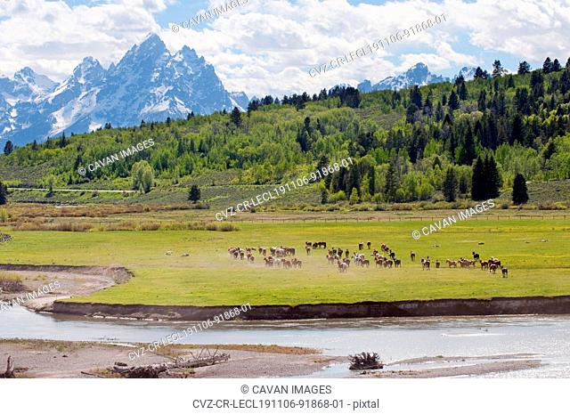 Herd of horses in a field, Buffalo Fork and Teton mountain range