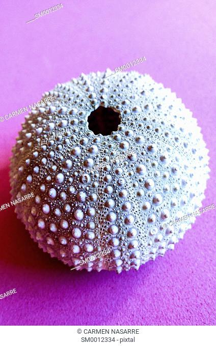 skeleton of sea urchin on purple background