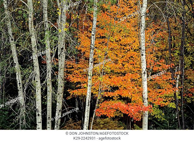 Aspens tree trunks and orange maple, White Mountains National Forest, New Hampshire, USA