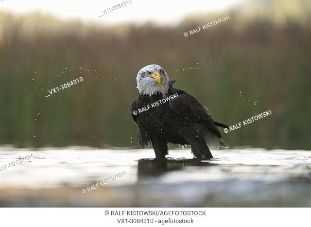 Bald Eagle ( Haliaeetus leucocephalus ), adult, stands in shallow water, shaking its head