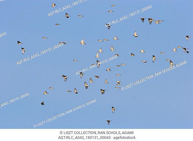 Flock of Brambling, Brambling, Fringilla montifringilla