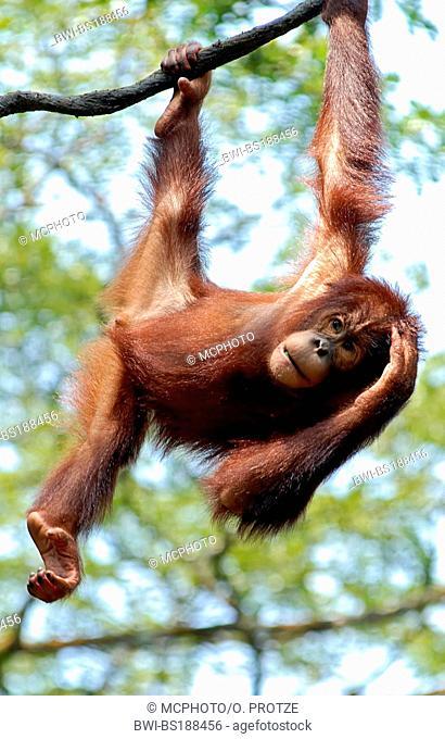 orang-utan, orangutan, orang-outang (Pongo pygmaeus), cheeky orang utan teenager hanging from a tree