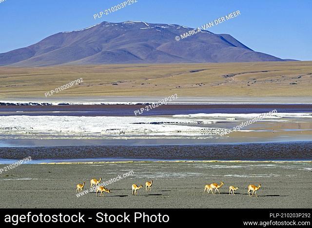 Vicuñas (Vicugna vicugna) on the shore of the Laguna Colorada / Red Lagoon, salt lake in the Eduardo Avaroa Andean Fauna National Reserve, Bolivia
