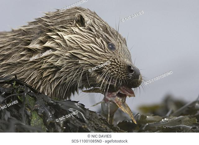 Eurasian river otter Lutra lutra eating fish Otters have adapted well to the marine environment but require sources of fresh water to drink and to clean fur...