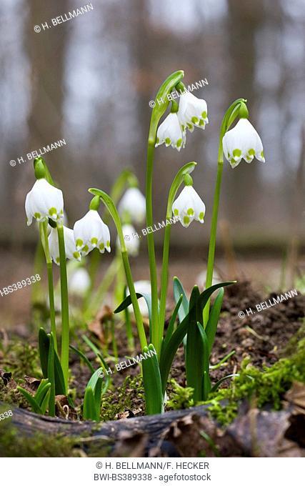 spring snowflake (Leucojum vernum), blooming, Germany