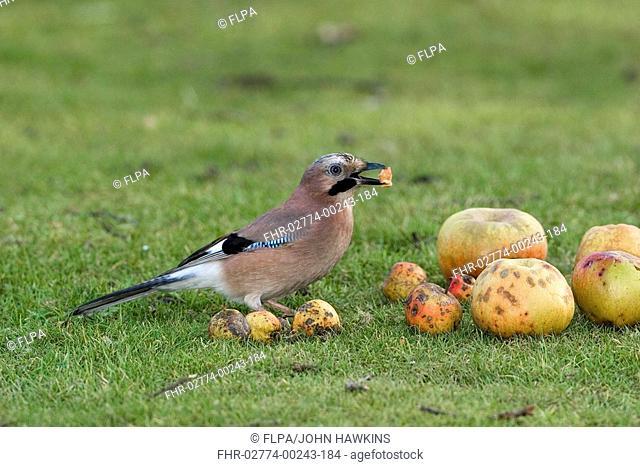 Eurasian Jay Garrulus glandarius adult, feeding on windfall apples on garden lawn, England, october