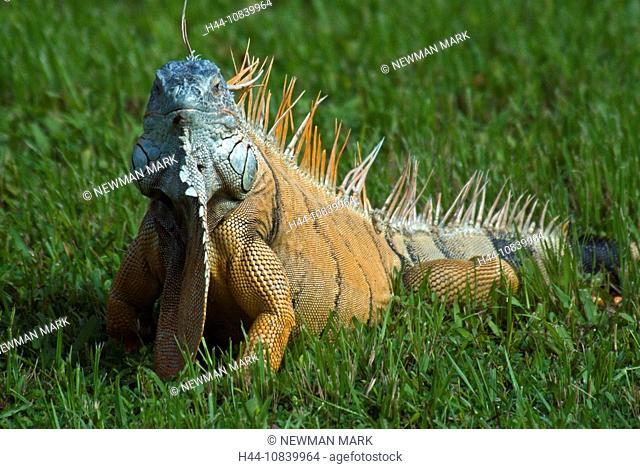 Green Iguana, Iguana iguana, reptile, lizard, one animal