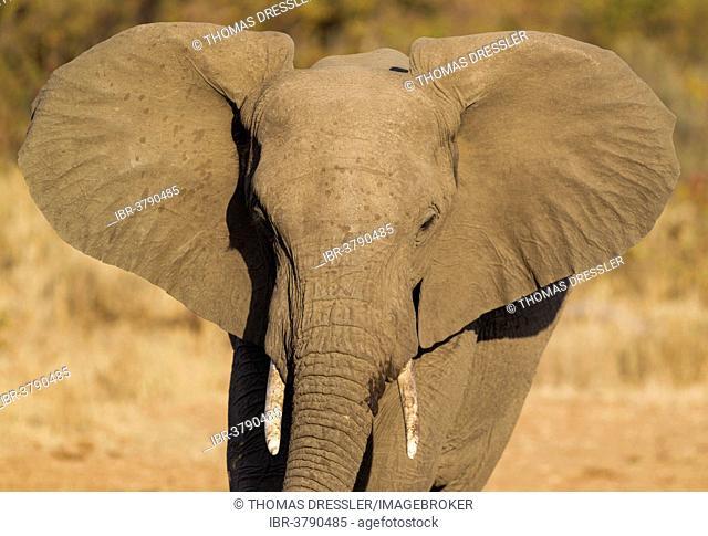 African Elephant (Loxodonta africana), bull, Kruger National Park, South Africa