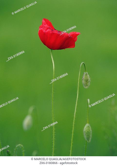 Poppy. Springtime at Olost village countryside. Lluçanès region. Barcelona province, Catalonia, Spain