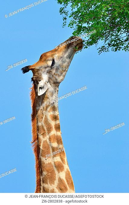 South African giraffe or Cape giraffe (Giraffa giraffa giraffa), feeding on leaves, Kruger National Park, South Africa, Africa
