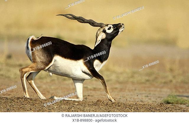 Blackbuck Antilope cervicapra in Tal Chhapar Sanctuary, Rajasthan, India