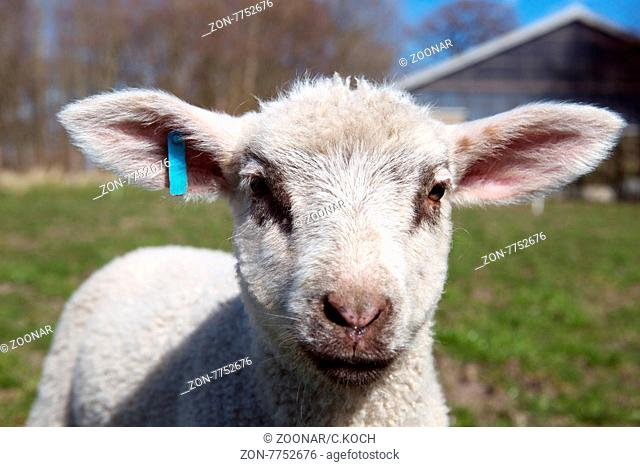 ein kleines Lamm auf einem Bauernhof in Schleswig Holstein, 2015