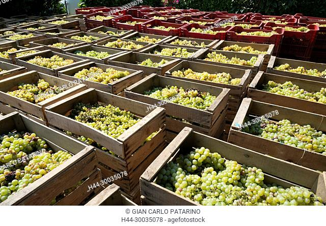Italy, panorama of vineyards of Piedmont Langhe-Roero and Monferrato on the World Heritage List UNESCO. Bunches of Moscato d'Asti in various baskets Italy