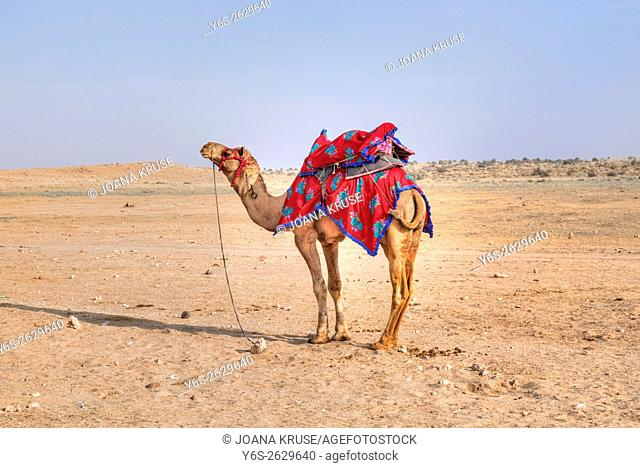 camel of Nomadic people in the Thar desert, Rajasthan, India