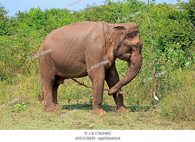 Sri Lankan Elephant, (Elephas maximus maximus), Asian Elephant, adult male using tool, Udawalawe Nationalpark, Sri Lanka, Asia