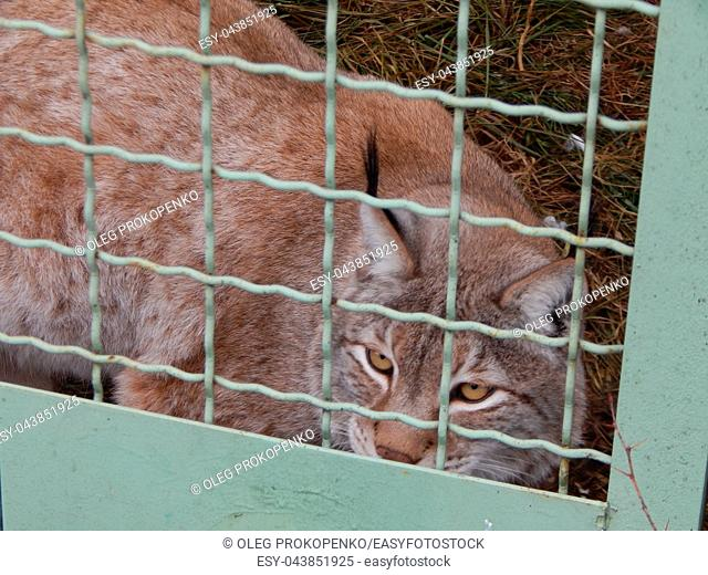 Lynx in a cage looks close-up