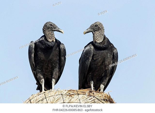 American Black Vulture (Coragyps atratus) two adults, standing together, Cozumel, Quintana Roo, Yucatan Peninsula, Mexico, January