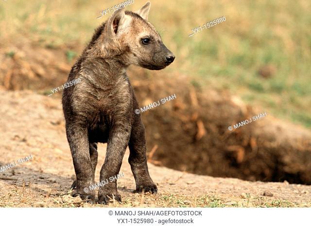 Spotted Hyaena cub, savannah, Masai Mara Natonal Reserve, Kenya