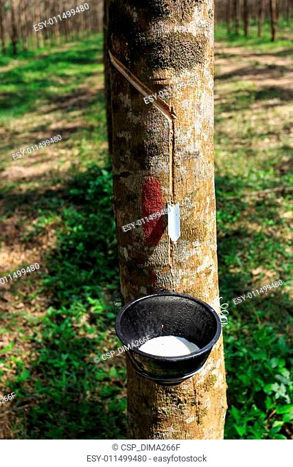 Tapping latex from a rubber tree closeup