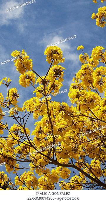 Detail of tree flowers, Araguaney Tree in Venezuela