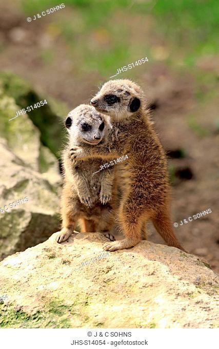 Suricate, (Suricata suricatta), two youngs social behaviour, Africa