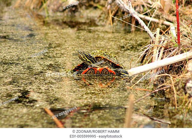Algae Covered Painted Turtle
