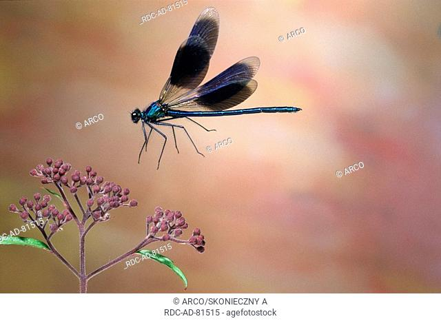 Banded Blackwing, male, Calopteryx splendens, Agrion splendens, freistellbar, side