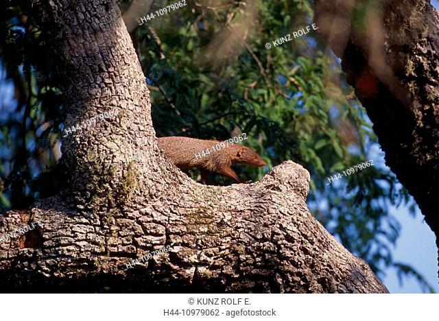 Rudy mongoose, Herpestes smithii, Herpestidae, mongoose, animal, mammal, Yala, National Park, Sri Lanka